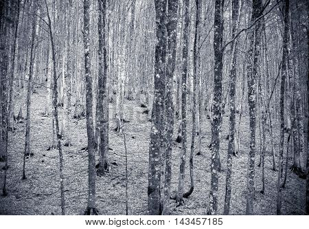 Winter Colors Beech Tree Forest Background