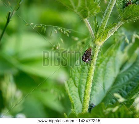 Tree hopper Centrotus cornutus on the stem nettle.