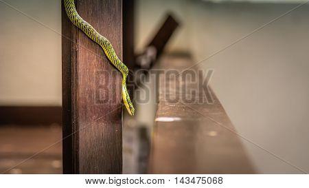 Chrysopelea ornata also known golden tree snake ornate flying snake, golden flying snake