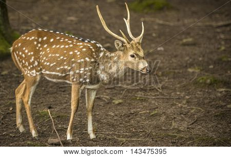 Axis deer buck profile image - Profile image with a cute buck, from the  Axis deer specie, also known as Chital or spotted deer. Picture taken in Pforzheim, Germany.