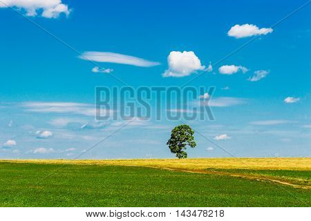 High tree in the field a sunny summer day