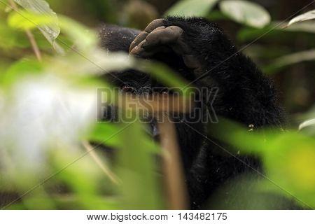 Eye Contact with a Mountain Gorilla (Gorilla beringei beringei) through the Foliage. Bwindi Impenetrable National Park Uganda