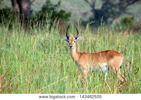 Ugandan Kob (Kobus kob thomasi) in High Grass. Ishasha Queen Elisabeth Uganda