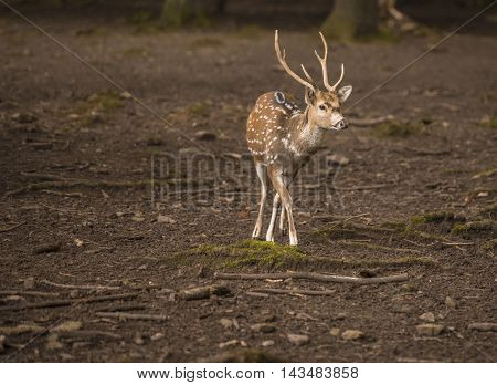 Chital young male in forest - Spotted deer male with beautiful antlers walking through the forest in the Wild Park from Pforzheim, Germany.