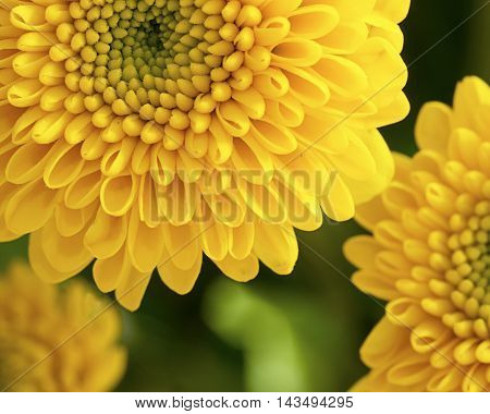 Yellow cut chrysanthemum flowers  in close up