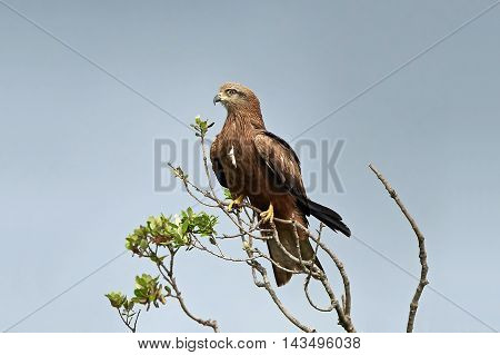 Black kite (Milvus migrans) sitting on a branch with blue skies in the background