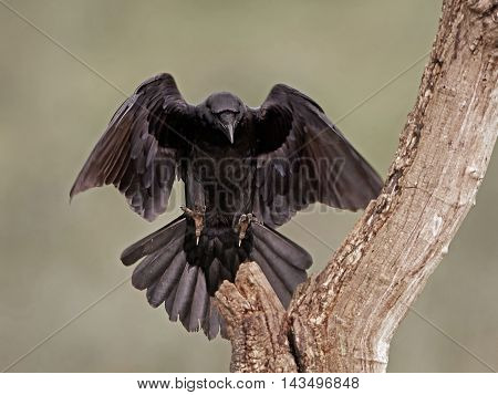 Common raven (Corvus corax) in flight about to land on a branch