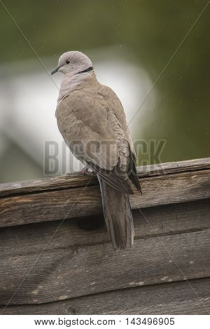 Collared Dove Perched On A Fence, Close Up