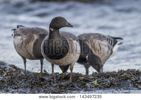 Brent Geese Feeding By The Sea, Close Up