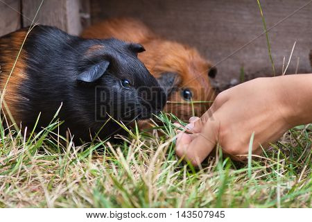 hand feeding young guinea pigs in the cage