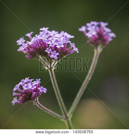 Beautiful Close Up Of Verbena Bonariensis Vervain Summer Flower