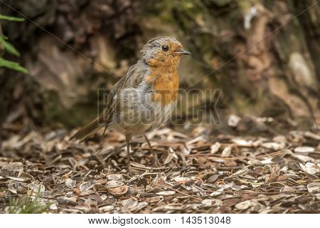 Robin Redbreast, Perched On The Forest Floor, Close Up