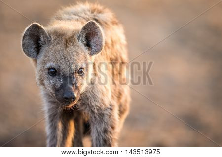 Starring Young Spotted Hyena In The Kruger National Park.