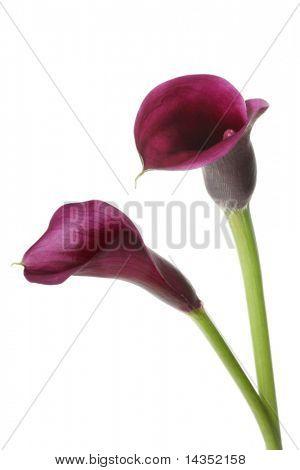 Two vibrant purple mini calla lilies, isolated on white.
