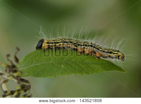 A larva of the Contracted Datana moth, a common variety of moth in North America.