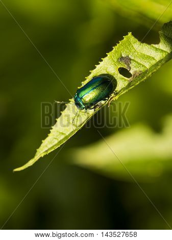 Dogbane Leaf Beetle, Golden beetle, Chrysochus auratus - Bucegi National Park Mountains, Romania