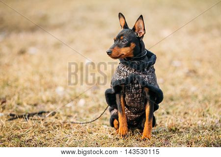 Young Black Miniature Pinscher Pincher. Sitting On Dry Grass