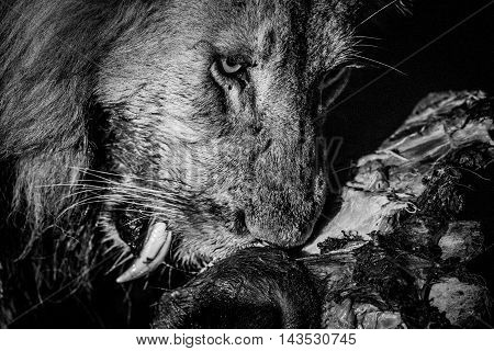 Eating Lion In Black And White In The Kruger.