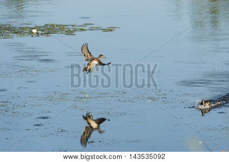 Male Wood Duck startles female while gliding to landing