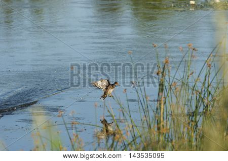 Male Wood Duck gliding to landing on pond