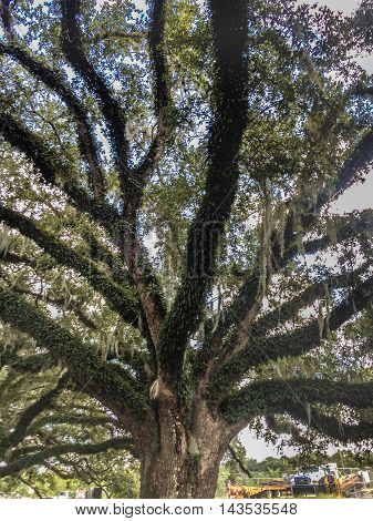 large oak tree with hanging moss in City Park in New Orleans