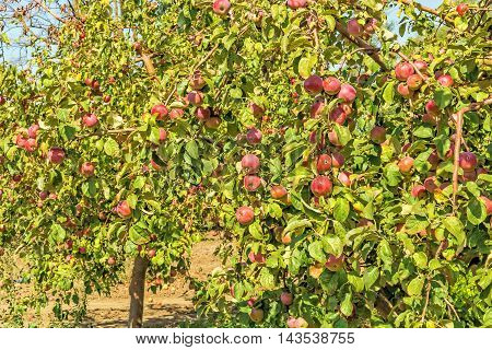 Apple trees with ripe red fruits in the orchard on a sunny autumn day