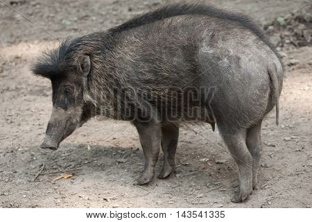 Visayan warty pig (Sus cebifrons). Wildlife animal.