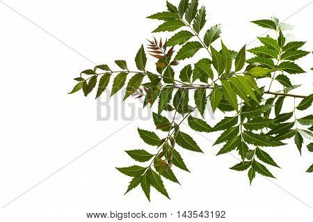 Medicinal neem leaf on white background. Azadirachta indica.