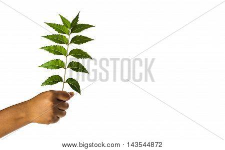 Hand holding Neem leaves - Azadirachta indica