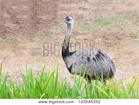 emu walking behind tall grass brown dead landscape behind