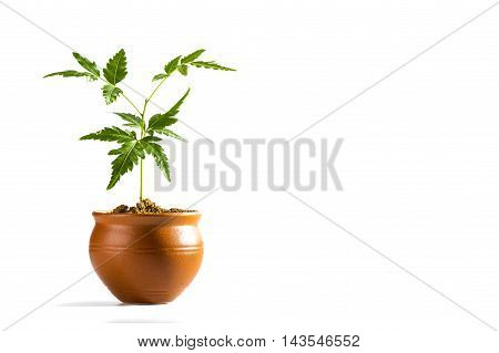 Young Neem tree in clay pot on white background. Azadirachta indica Tree. poster
