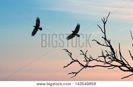 Silhouette of a crows (Corvus brachyrhynchos) flying against sunset sky