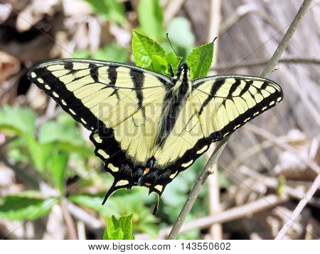 The Eastern Tiger Swallowtail Butterfly in forest of Mclean near Washington DC 13 April 2016 USA