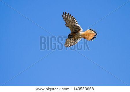 American Kestrel In Flight