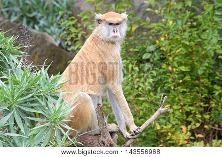 Female Patas Monkey sitting on a branch behind plants with trees in background looking to viewers right.