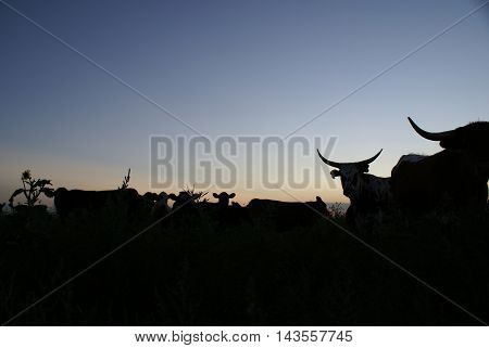Cattle Silhouette Sunset in the Texas Panhandle