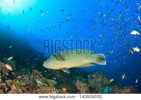 Napoleon fish and coral reef, Komodo, Indonesia