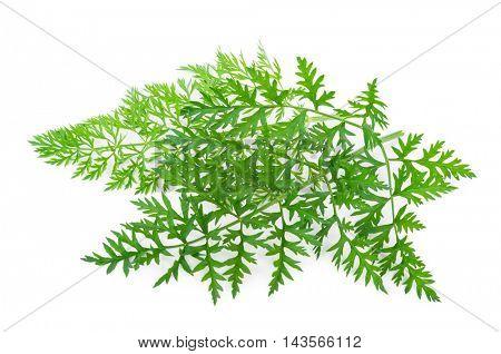 fresh carrots leafs