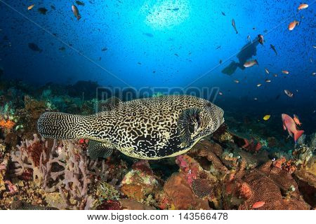 Scuba dive coral reef with puffer fish