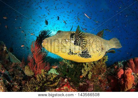 Puffer fish on coral reef in Komodo, Indonesia