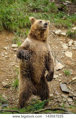 Brown Bear (ursus Arctos) Is Standing Up