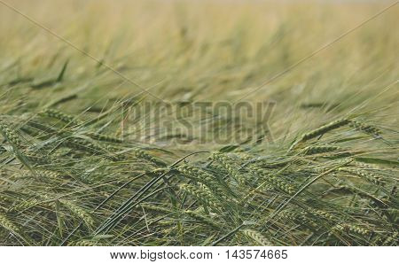 Ripe spikelets of wheat in a field