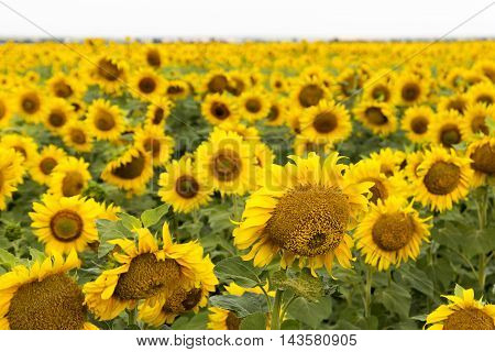 Large happy sunflower and sunflower oil crop on a sunny day in the Tarn-et-Garonne region of the South of France. ** Note: Shallow depth of field