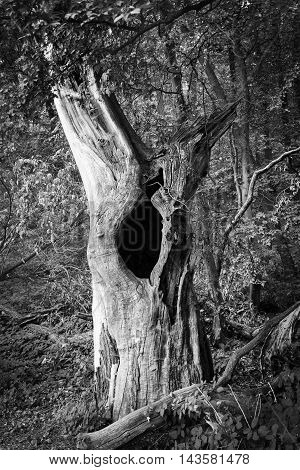 Old dead tree with a huge knothole