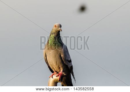 A closup shot of Rock Pigeon. Portait of Rock Pigeon perched