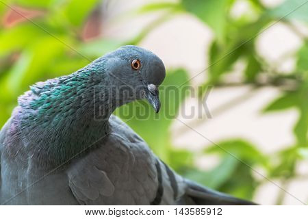 A closup shot of Rock Pigeon. Portait of Rock Pigeon. Rock dove staring curiously