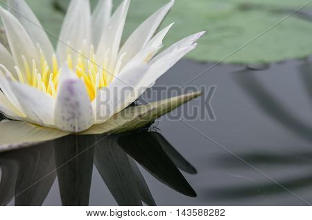 beautyful bossom white lotus on water background