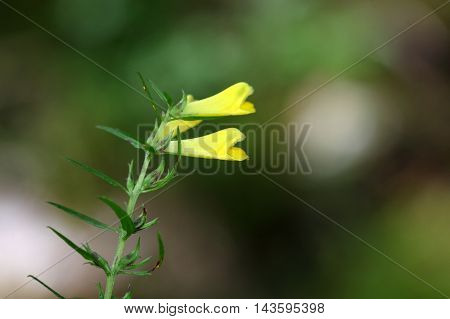Flower of a common cow-wheat (Melampyrum pratense)