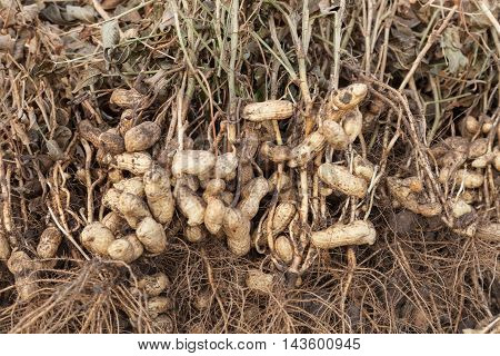 Harvest of peanuts peanut plants with roots closeup