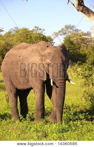 Large elephant bull (Loxodonta africana) standing in the grass in the nature reserve in South Africa poster